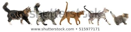 Gray cat walking on white background Stock photo © bluering