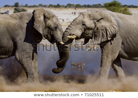elephants fighting in the  Etosha national park  Stock photo © meinzahn