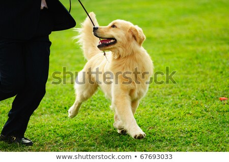 master playing with golden retriever dog stock photo © raywoo