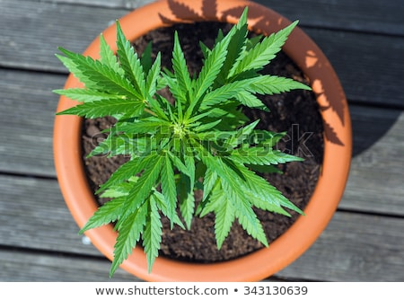 大麻 工場 ポット 成長 緑 ストックフォト © hamik