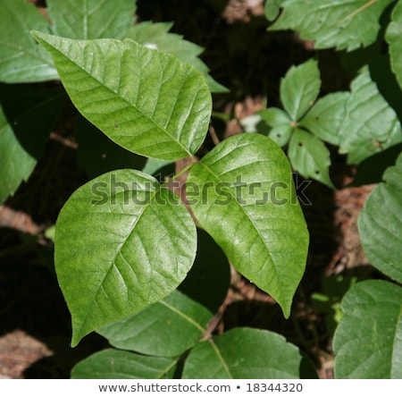 poison ivy profile stock photo © ca2hill