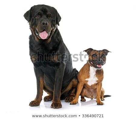 Stier terriër rottweiler witte hond zwarte Stockfoto © cynoclub