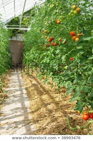теплица полный томатный растений природы сельского хозяйства Сток-фото © IS2