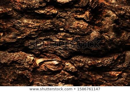 Сток-фото: дуб · лес · большой · старое · дерево · текстуры