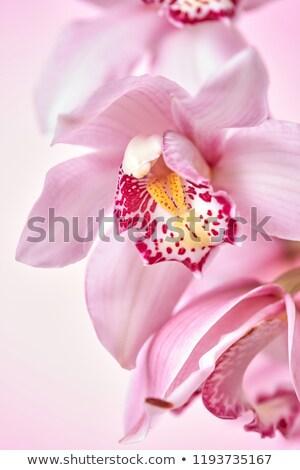 papucs · orchidea · egzotikus · virágok · izolált · növényvilág - stock fotó © artjazz
