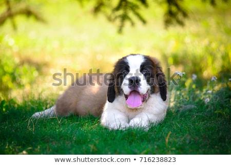 puppy saint bernard Stock photo © cynoclub