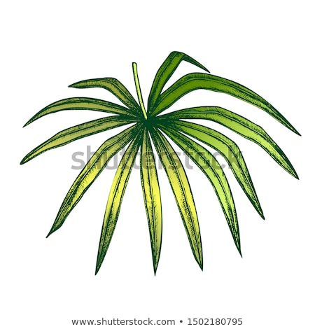 Thrinax Radiata Exotic Leaf Color Hand Drawn Vector Stock photo © pikepicture