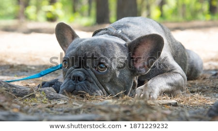 frans · bulldog · tong · witte - stockfoto © vauvau