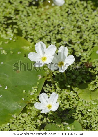 White water snowflake (Nymphoides hydrophylla), aquatic plant Stock photo © Ansonstock