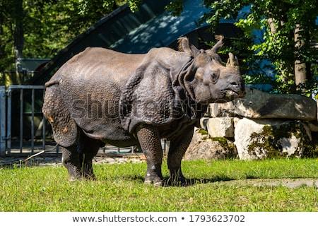 wild rhinoceros unicornis stock photo © smithore
