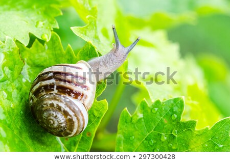 grapevine snails stock photo © chrisjung