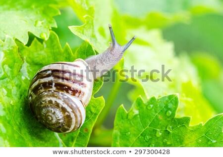 Grapevine snails Stock photo © ChrisJung