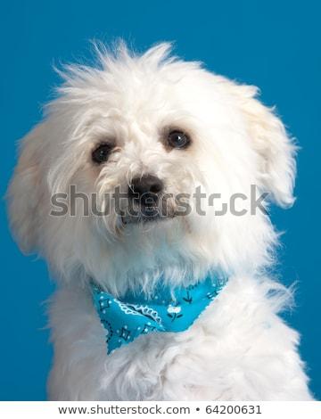 meraklı · havanese · köpek · yavrusu · sevimli · küçük · oturma - stok fotoğraf © feedough
