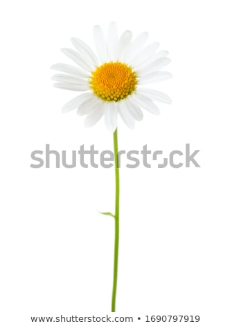 Margarida branco flor sozinho amarelo Foto stock © leeavison