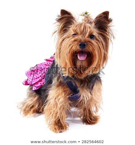 Stock photo: Yorkshire Terrier  in nice dress