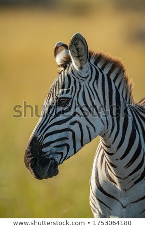 plains zebra equus burchellii stock photo © ajlber