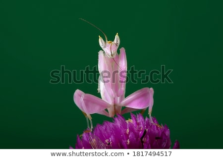Rose sauterelle herbe  tige animaux Photo stock © chris2766