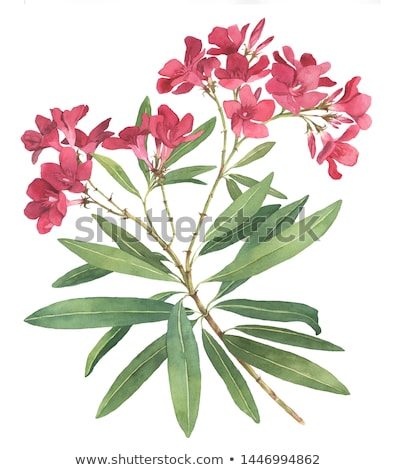 Illustration of rhododendron Stock photo © perysty