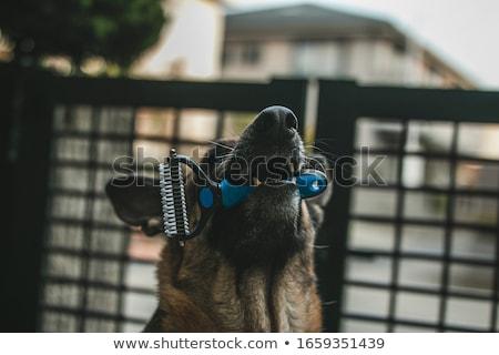 Cute czarny pasterz psa stałego Zdjęcia stock © eriklam