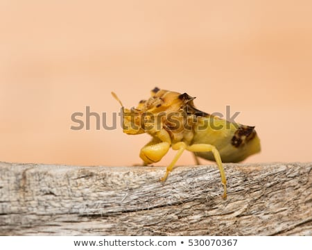 Ambush Bug Stock photo © brm1949