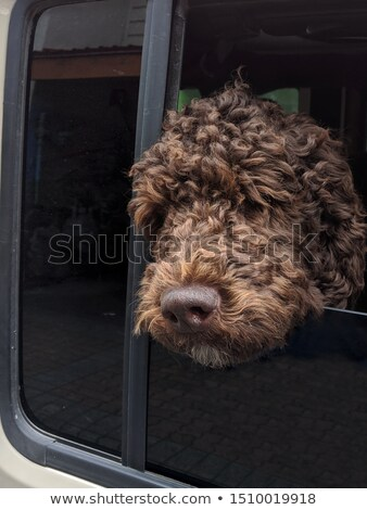 Brown Labradoodle Watching Stock photo © Gordo25