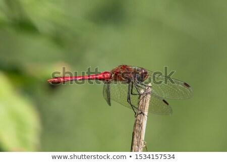 Vermelho libélula asas naturalmente verde atrás Foto stock © justinb