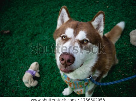 Husky марионеточного трава глазах рабочих животного Сток-фото © algor