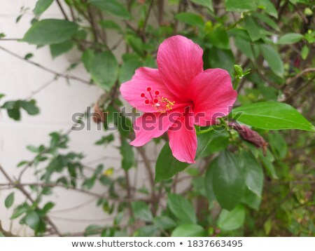 hybiscus rosa chinesis Stock photo © compuinfoto