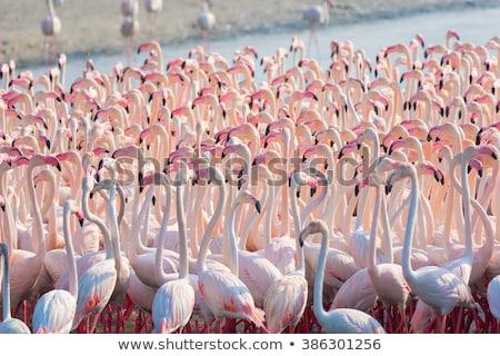 Flamingo oogcontact Rood kleur Stockfoto © bradleyvdw