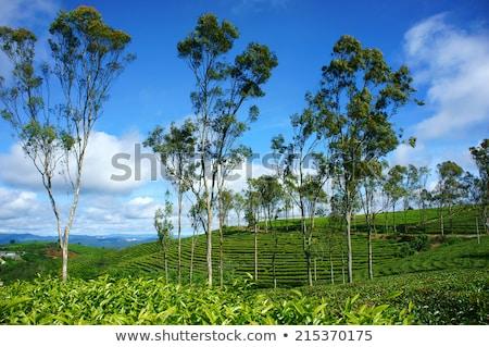 Imponujący krajobraz Wietnam herbaty plantacja Zdjęcia stock © xuanhuongho