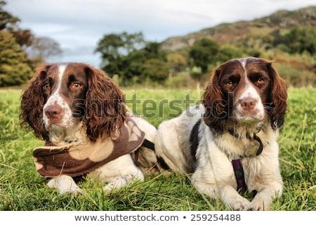 Dos bastante hígado blanco de trabajo tipo Foto stock © chrisga