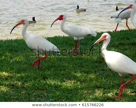 Americano blanco lago pie Orlando Foto stock © rhamm