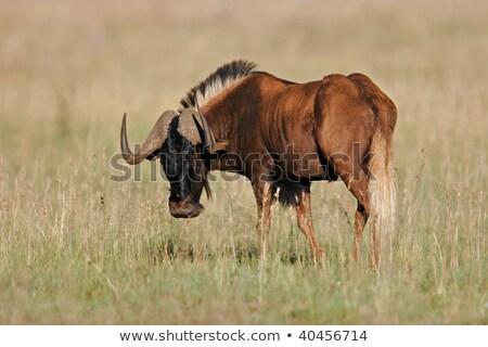 Black Wildebeest (Connochaetes gnou) Stock photo © dirkr