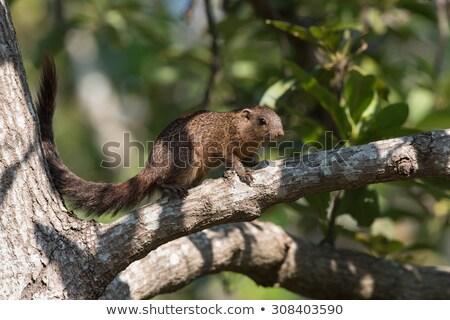 Stock photo: Smith's bush squirrel (Paraxerus cepapi) in an avocado tree