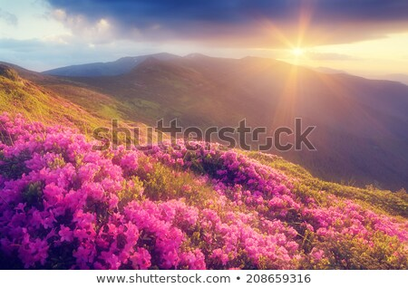 Glade with pink flowers in the mountains at sunset Stock photo © Kotenko