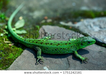 lizard camouflaged in its habitat Stock photo © taviphoto