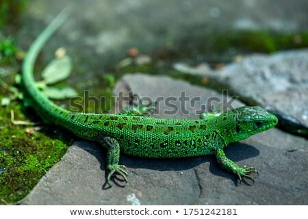 pequeno · amarelo · lagarto · ver · la - foto stock © taviphoto