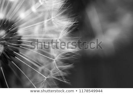 karahindiba · rüzgâr · siyah · beyaz · versiyon · çiçek · ağaç - stok fotoğraf © andreasberheide