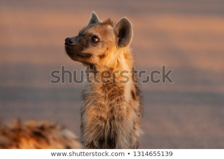 Fiatal hiéna park Dél-Afrika állatok fotózás Stock fotó © simoneeman