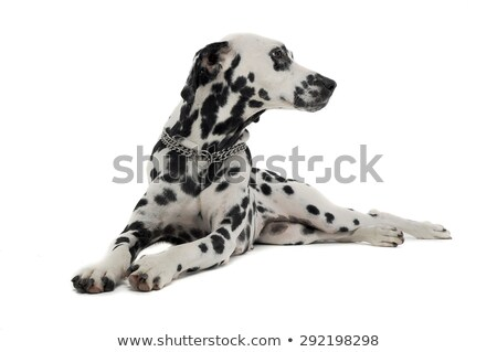Stock photo: cute dalmatians relaxing in white background photo studio