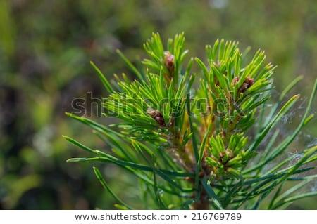 Fiatal fenyőfa tél hideg tájkép fa Stock fotó © compuinfoto