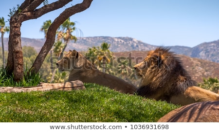 A Lion mating couple laying in the grass. stock photo © simoneeman
