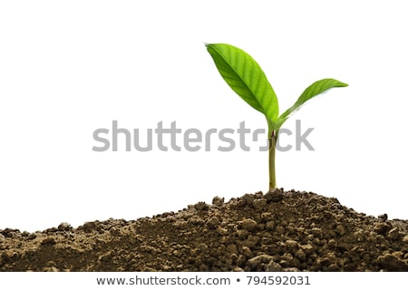 Young sapling isolated. Sprout plant on white background Stock photo © popaukropa