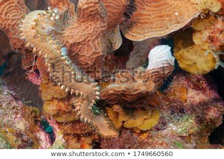 Foto stock: Barbudo · mar · fundo · mediterrânico · subaquático · animal