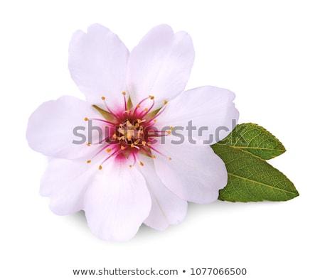 Mandorla fiore primo piano bianco ambiente Foto d'archivio © IS2