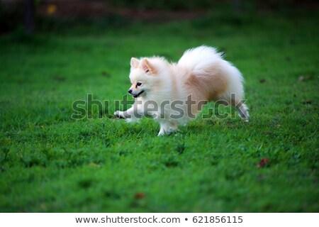 beyaz · köpek · çalışma · oyun · alanı · oyuncak · çalıştırmak - stok fotoğraf © raywoo