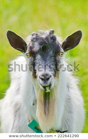 Blue Goat w Stock photo © cidepix