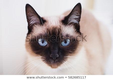 Aranyos torkolat fekete macska közelkép közelkép kék Stock fotó © vlad_star