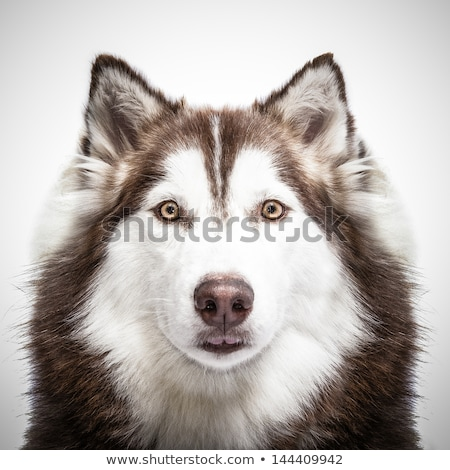 husky · illusztráció · rajz · vektor · emlős · clip · art - stock fotó © bluering