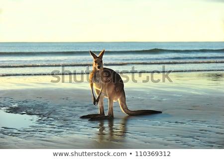 Inlander wildlife strand Australië kangoeroe natuur Stockfoto © lovleah